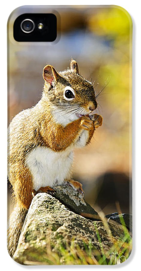 Red Squirrel IPhone 5 Case featuring the photograph Red Squirrel by Elena Elisseeva