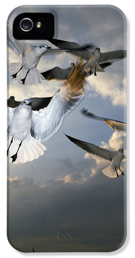 Animal IPhone 5 Case featuring the photograph Seagulls In Flight by Natural Selection Ralph Curtin