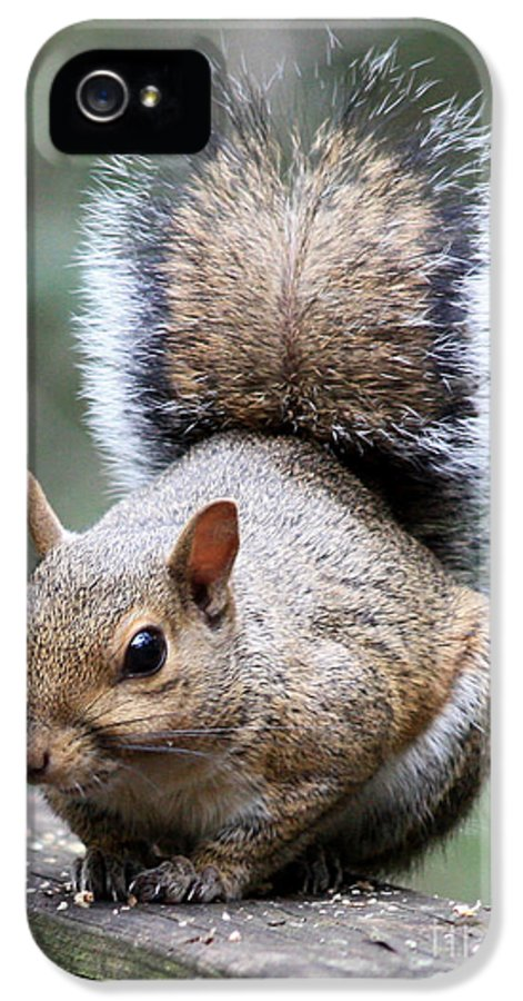 Squirrel IPhone 5 Case featuring the photograph Squirrel by Carol Groenen