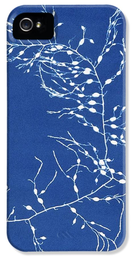 Cystoseira Fibrosa IPhone 5 Case featuring the photograph 19th-century Alga Cyanotype by Spencer Collectionnew York Public Library