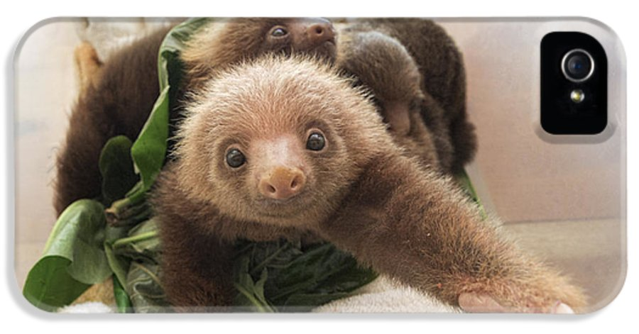 Mp IPhone 5 Case featuring the photograph Hoffmanns Two-toed Sloth Choloepus by Suzi Eszterhas