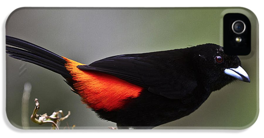Tanager IPhone 5 Case featuring the photograph Cherrie's Tanager by Heiko Koehrer-Wagner