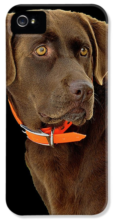 Dog IPhone 5 Case featuring the photograph Chocolate Lab by William Jobes
