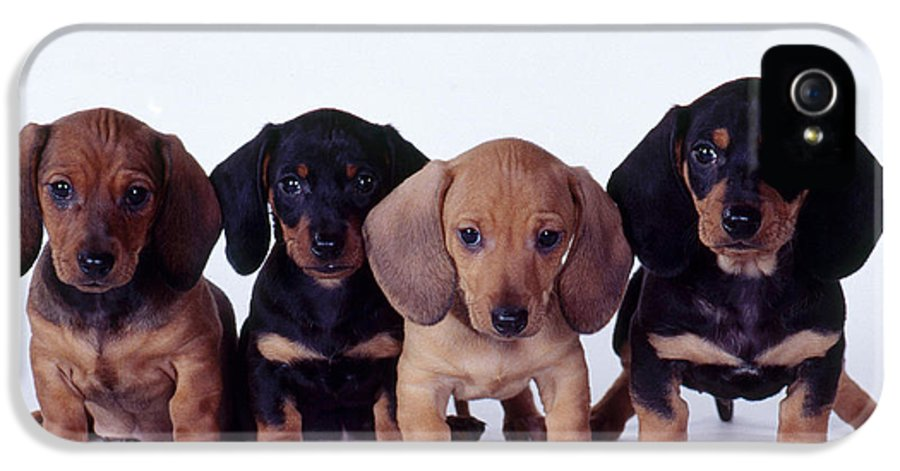 Fauna IPhone 5 Case featuring the photograph Dachshund Puppies by Carolyn McKeone and Photo Researchers