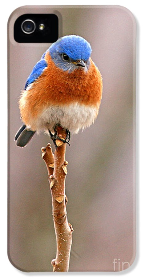 Bluebird IPhone 5 Case featuring the photograph Eastern Bluebird Treetop Perch by Max Allen