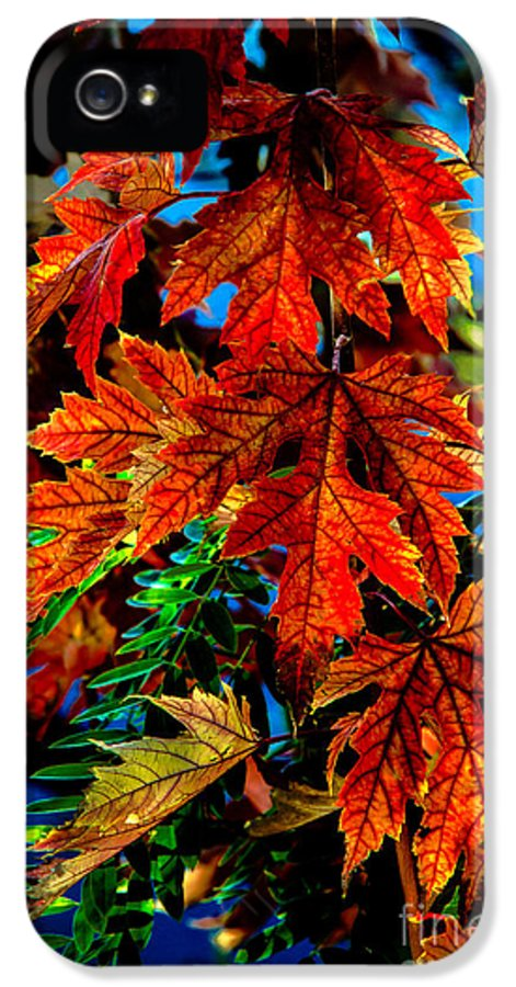 Maple IPhone 5 Case featuring the photograph Fall Reds by Robert Bales