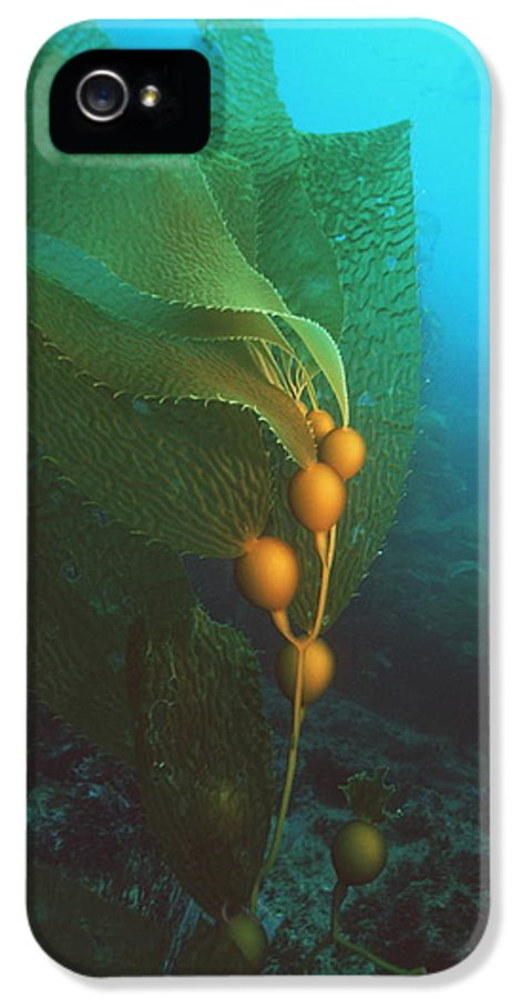 Macrocystis Pyrifera IPhone 5 Case featuring the photograph Giant Kelp by Georgette Douwma