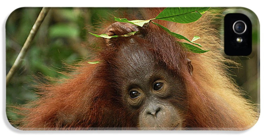 Mp IPhone 5 Case featuring the photograph Orangutan Pongo Pygmaeus Baby, Camp by Thomas Marent
