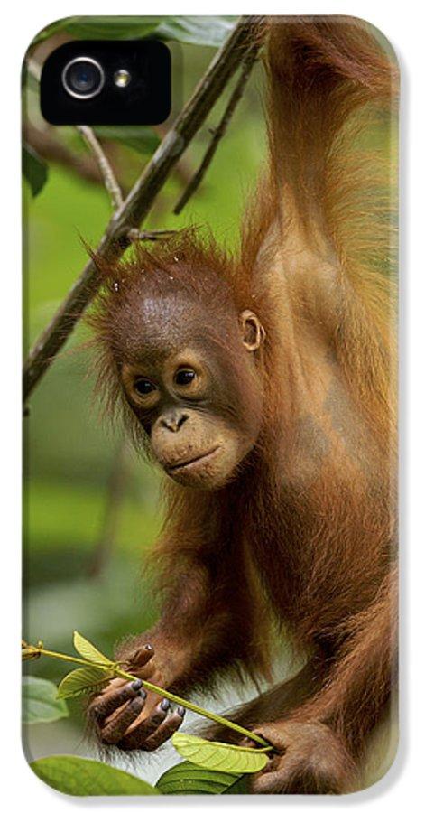 Npl IPhone 5 Case featuring the photograph Orangutan Pongo Pygmaeus Baby Swinging by Christophe Courteau