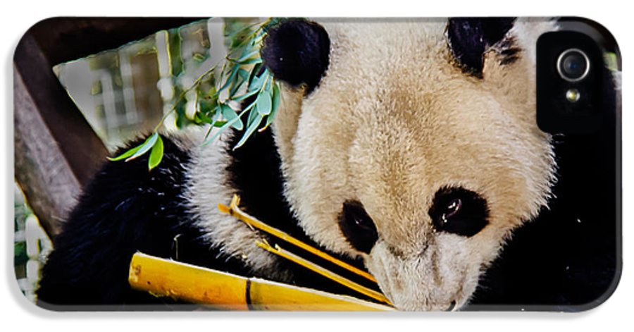 Animals IPhone 5 Case featuring the photograph Panda Bear by Robert Bales