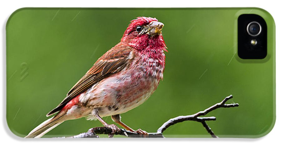 Bird IPhone 5 Case featuring the photograph Rainy Day Bird - Purple Finch by Christina Rollo