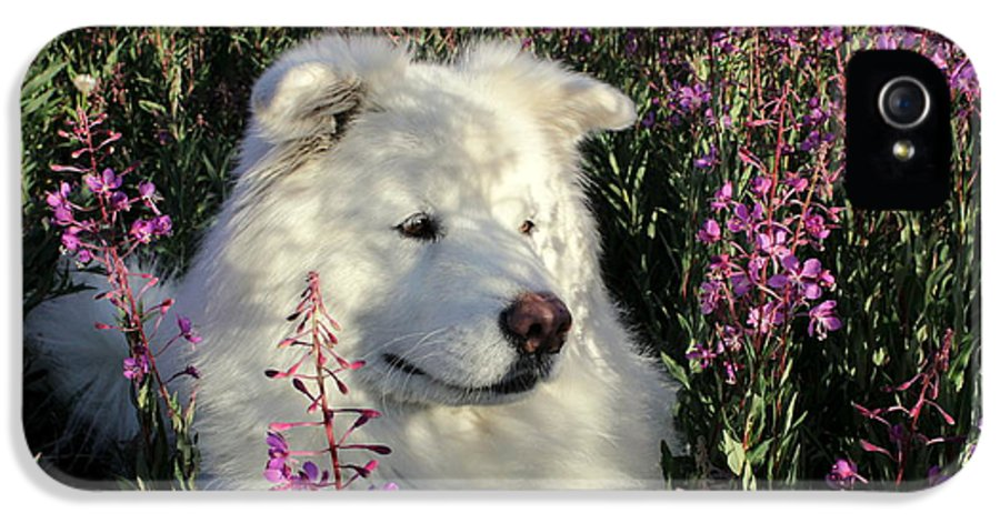 Samoyed IPhone 5 Case featuring the photograph Shadows by Fiona Kennard