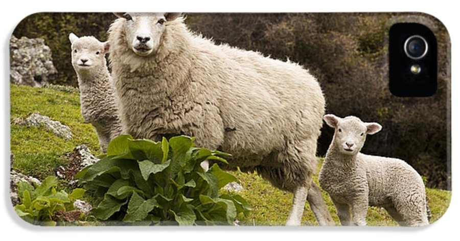 00479625 IPhone 5 Case featuring the photograph Sheep With Twin Lambs Stony Bay by Colin Monteath