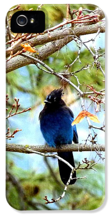 Stellar Jay IPhone 5 Case featuring the photograph Stellar Jay Majesty by Will Borden
