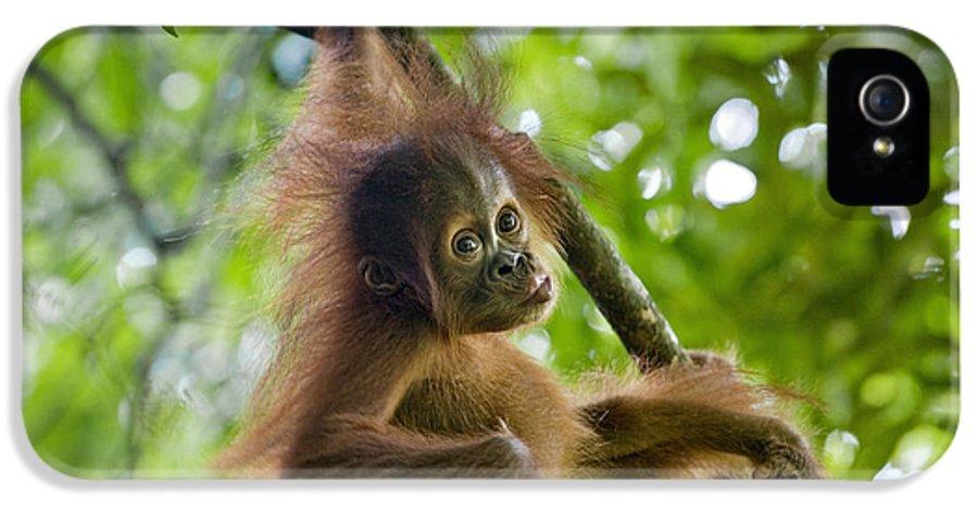 00443970 IPhone 5 Case featuring the photograph Sumatran Orangutan Pongo Abelii Baby by Suzi Eszterhas