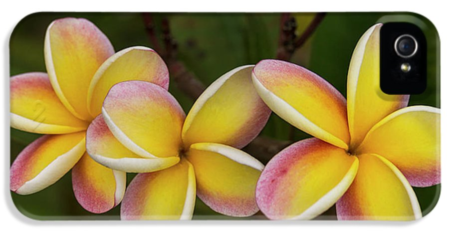 Still Life IPhone 5 Case featuring the photograph Three Pink And Yellow Plumeria Flowers - Hawaii by Brian Harig