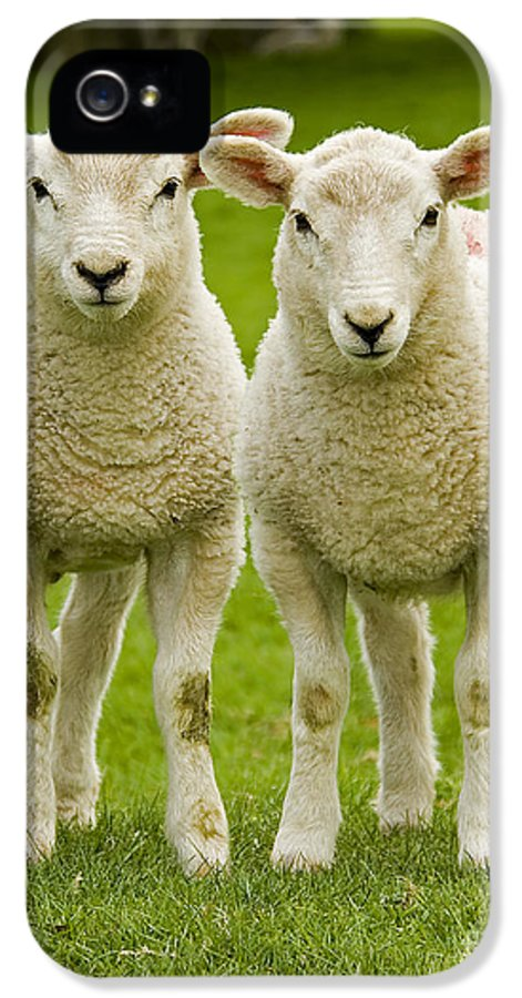 Agriculture IPhone 5 Case featuring the photograph Twin Lambs by Meirion Matthias