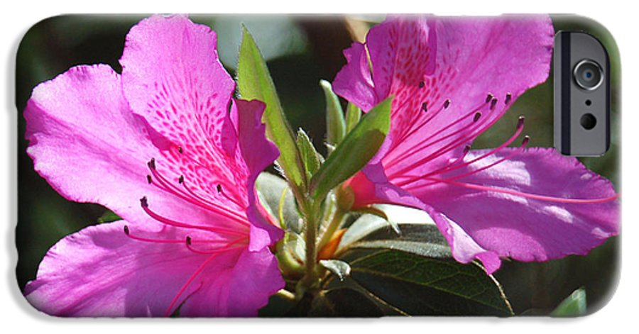 Azalea IPhone 6 Case featuring the photograph In Full Bloom by Suzanne Gaff