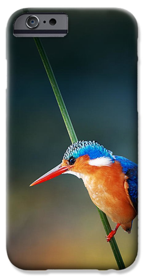 Wild; Wildlife; Animal; Bird; African; Africa; Safari Animals; Wilderness; Nature; Outdoor; Nobody; Kruger; National; Park; Kingfisher; Malachite; Alcedo; Cristata; Portrait; One; Sit; Perch; Rest; Cling; Branch; Side; View; Reed; Exotic; Colour; Colourful; Color; Colorful; Feather; Orange; Blue; Red; Small; Sharp; Bill; Beak; Long IPhone 6 Case featuring the photograph Malachite Kingfisher by Johan Swanepoel