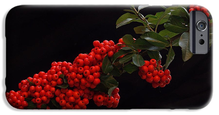 Winter IPhone 6 Case featuring the photograph Pyracantha Berries On Black - Pennsylvania by Anna Lisa Yoder