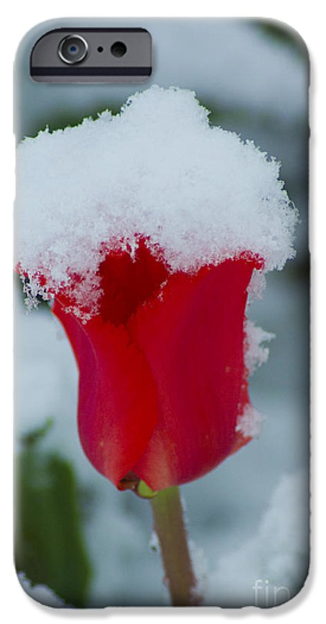 Tulip IPhone 6 Case featuring the photograph Snowy Red Riding Hood by Louise Magno