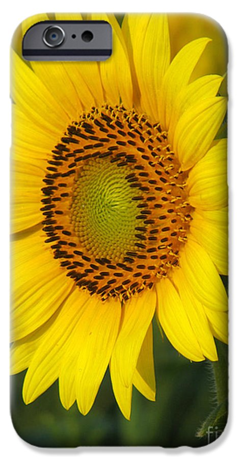 Sunflowers IPhone 6 Case featuring the photograph Sunflower by Amanda Barcon