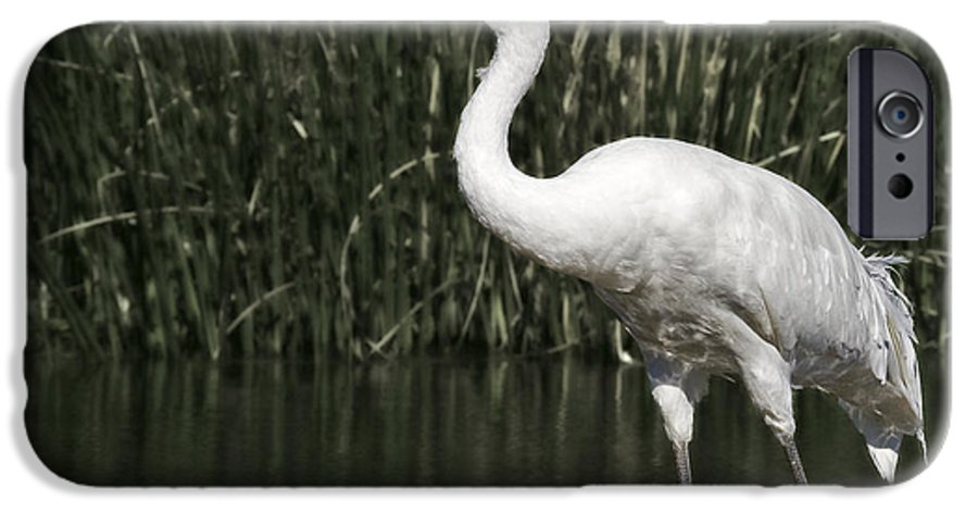 Whooping IPhone 6 Case featuring the photograph Whooping Crane by Al Mueller