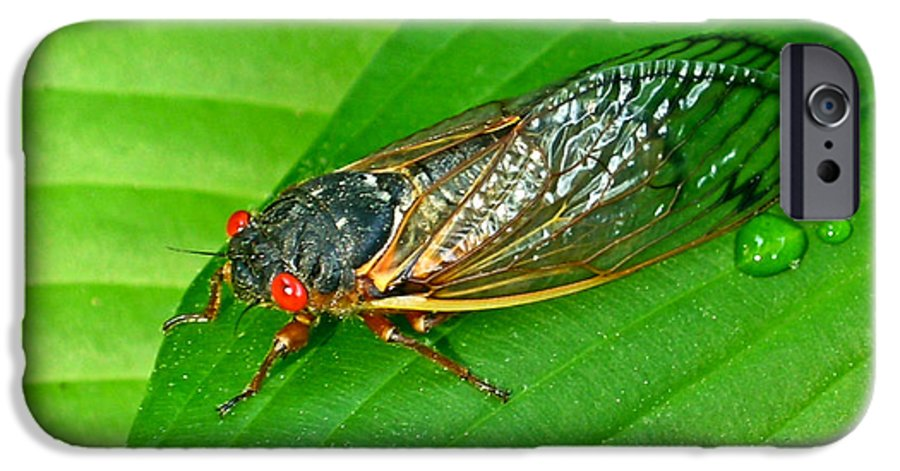 17 IPhone 6 Case featuring the photograph 17 Year Periodical Cicada by Douglas Barnett