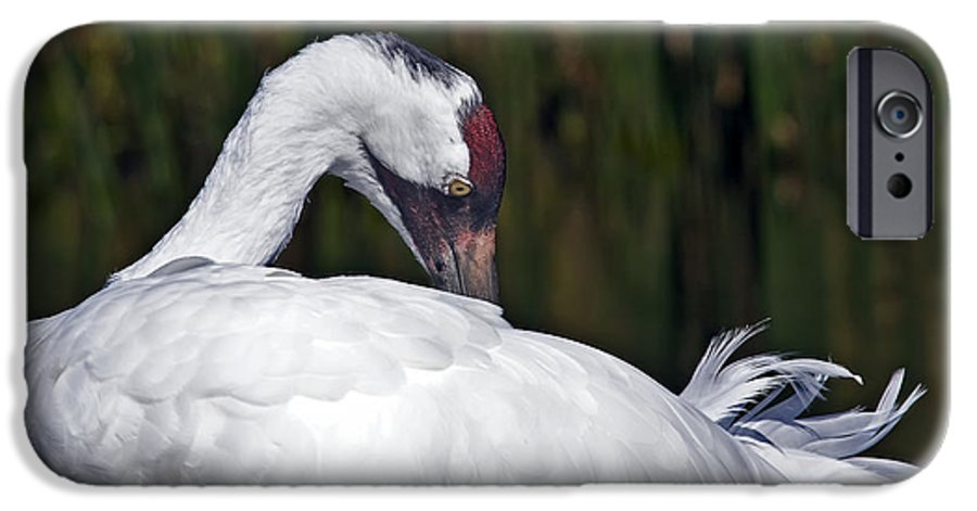 Avian IPhone 6 Case featuring the photograph A Preening Whooping Crane by Al Mueller