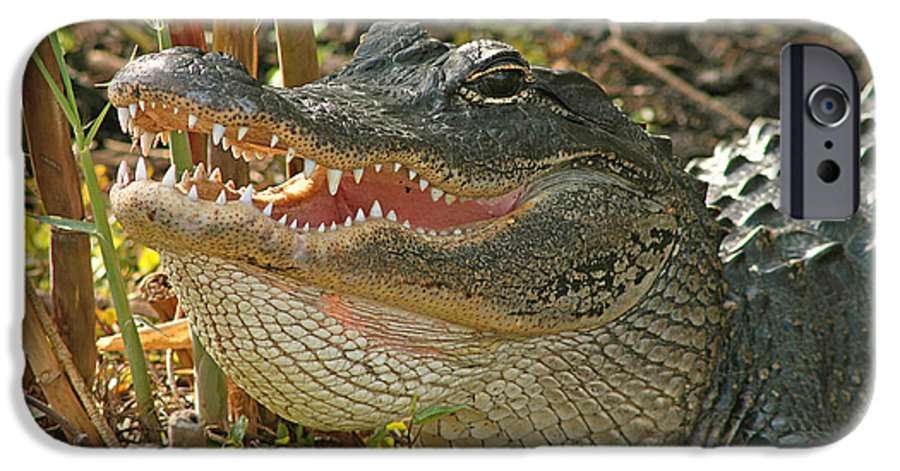 Alligator IPhone 6 Case featuring the photograph Alligator Showing Its Teeth by Max Allen