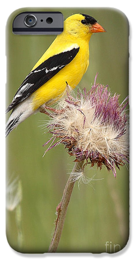 Goldfinch IPhone 6 Case featuring the photograph American Goldfinch On Summer Thistle by Max Allen