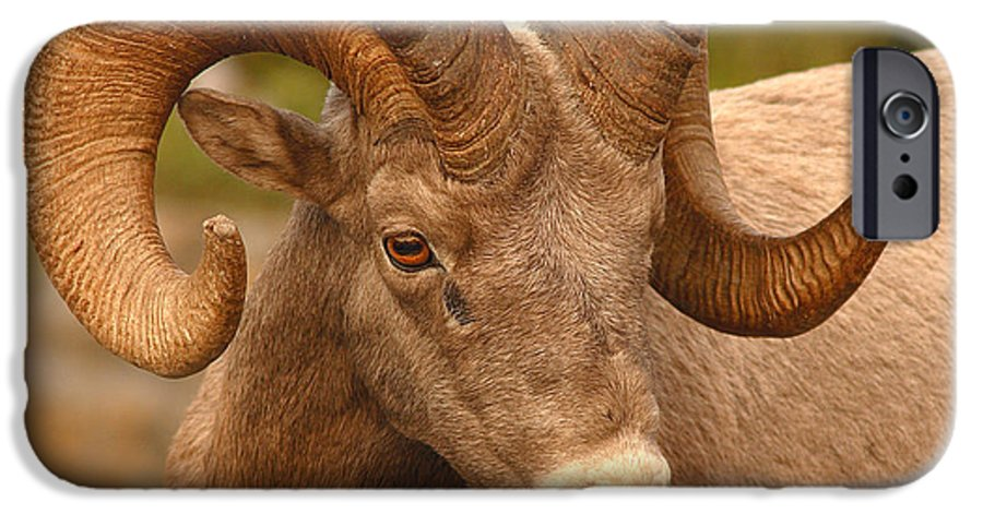 Bighorn IPhone 6 Case featuring the photograph Bighorn Ram With Evident Disdain by Max Allen