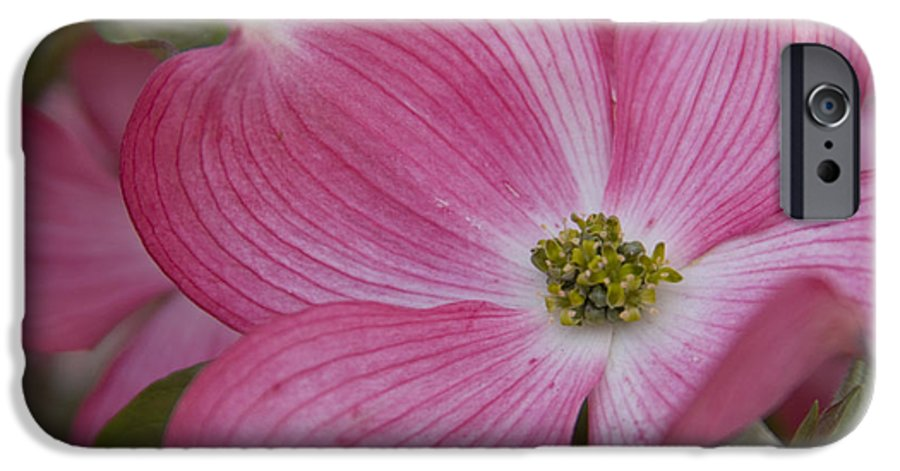 Dogwood IPhone 6 Case featuring the photograph Dogwood Bloom by Idaho Scenic Images Linda Lantzy