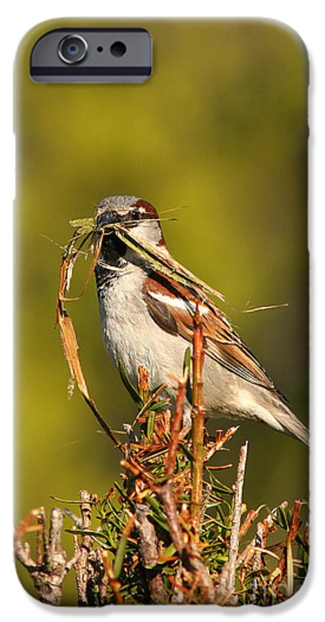 Sparrow IPhone 6 Case featuring the photograph English Sparrow Bringing Material To Build Nest by Max Allen