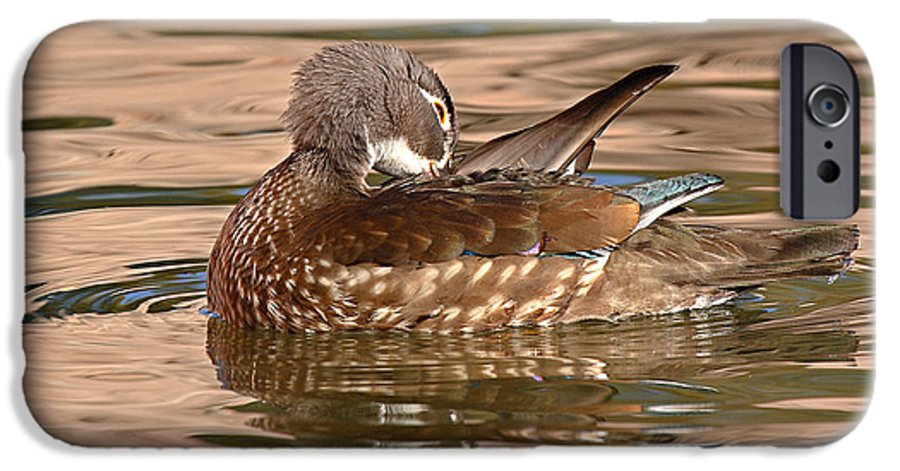 Wood Duck IPhone 6 Case featuring the photograph Female Wood Duck Preening On The Water by Max Allen