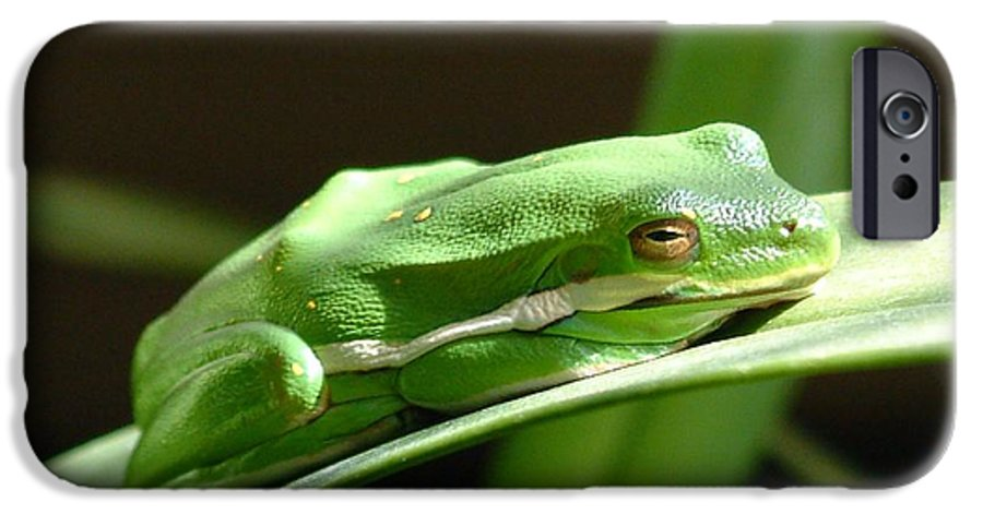 Frog IPhone 6 Case featuring the photograph Florida Tree Frog by Ned Stacey