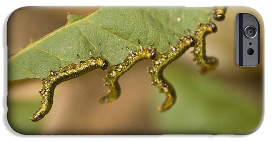 Larvae IPhone 6 Case featuring the photograph Hanging There by Douglas Barnett