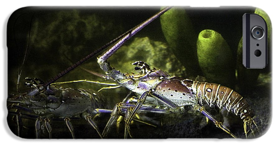 Lobster IPhone 6 Case featuring the photograph Lobster In Love by Marilyn Hunt