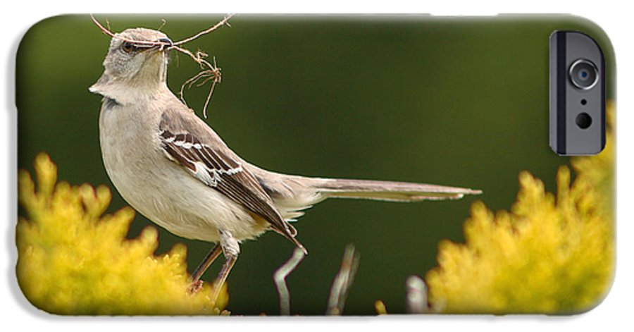Mockingbird IPhone 6 Case featuring the photograph Mockingbird Perched With Nesting Material by Max Allen
