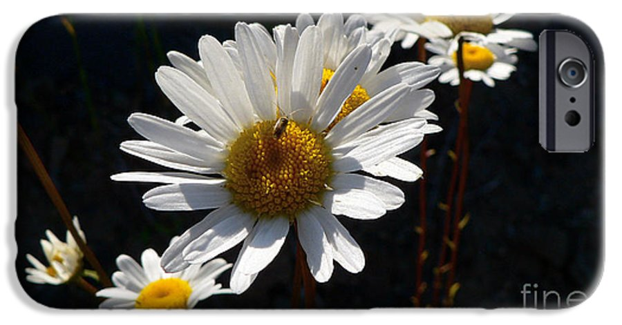 Flowers IPhone 6 Case featuring the photograph Mountain Daisy by Larry Keahey
