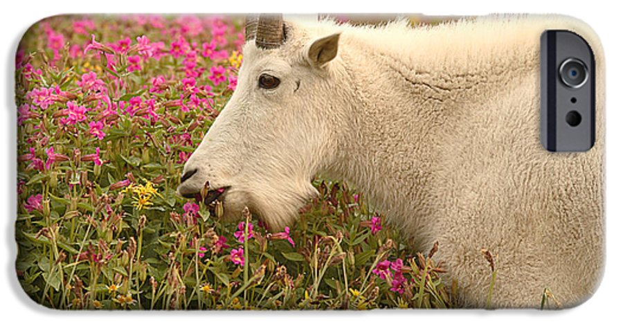Mountain Goat IPhone 6 Case featuring the photograph Mountain Goat In Colorful Field Of Flowers by Max Allen