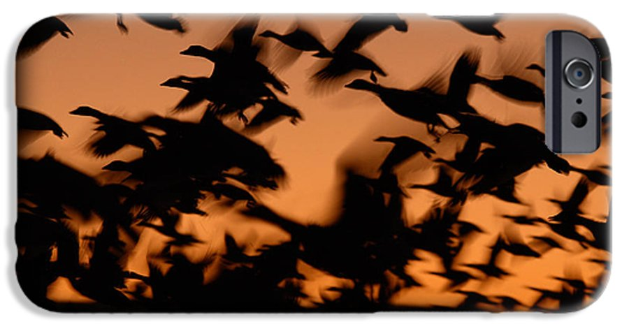 Geese IPhone 6 Case featuring the photograph Pre-dawn Flight Of Snow Geese Flock by Max Allen