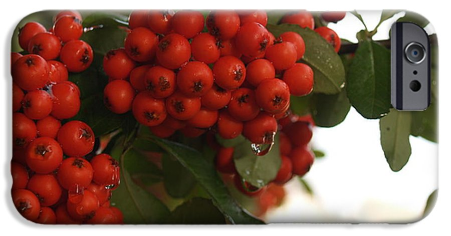 Pyracantha IPhone 6 Case featuring the photograph Pyracantha Berries In December by Anna Lisa Yoder