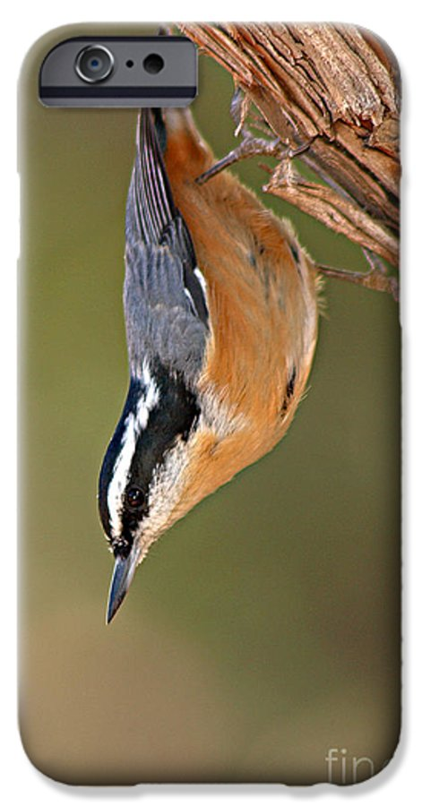 Nuthatch IPhone 6 Case featuring the photograph Red-breasted Nuthatch Upside Down by Max Allen