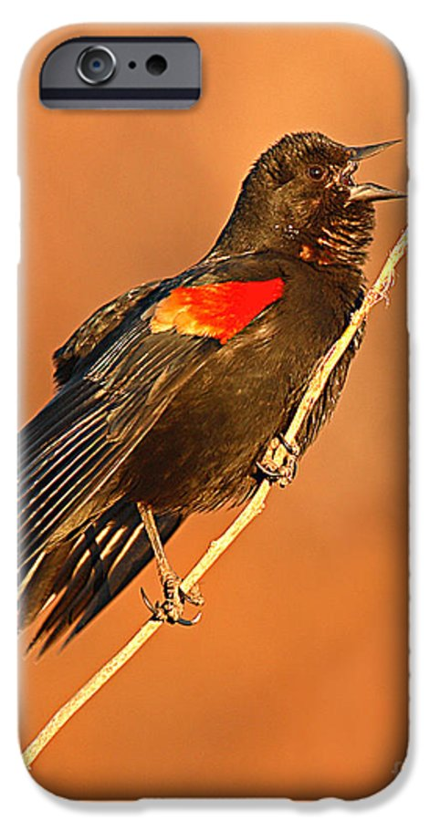 Blackbird IPhone 6 Case featuring the photograph Red-winged Blackbird Belting Out Spring Song by Max Allen