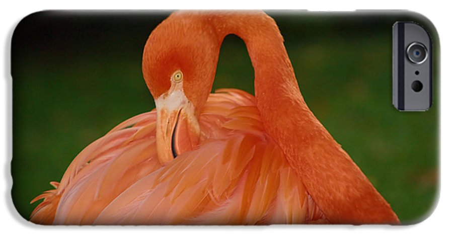Flamingo IPhone 6 Case featuring the photograph shy by Gaby Swanson