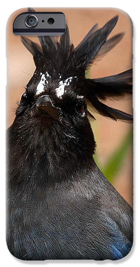 Jay IPhone 6 Case featuring the photograph Stellar's Jay With Rock Star Hair by Max Allen