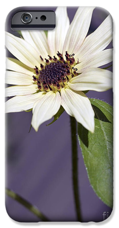 Helianthus Annus IPhone 6 Case featuring the photograph Sunflower by Tony Cordoza