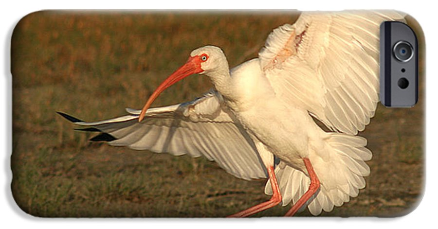 Ibis IPhone 6 Case featuring the photograph White Ibis Landing Upon Ground by Max Allen