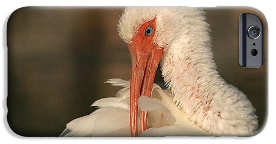 Ibis IPhone 6 Case featuring the photograph White Ibis Placid Preening by Max Allen